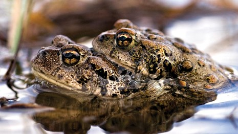 A bumpy, black spotted rests on top of another toad