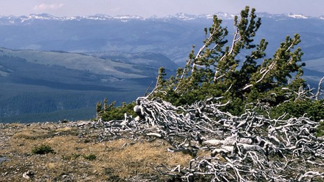 Whitebark pine growing on the summit of Mount Washburn.
