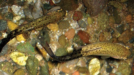 Two speckled fish with black tails swim in a colorful streambed