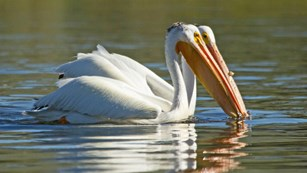 A pair of white pelicans floating on water.