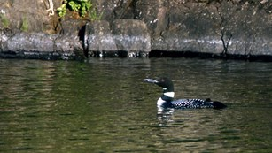 A loon swimming on a lake.