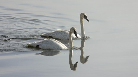 A pair of swans swimming on a lake.