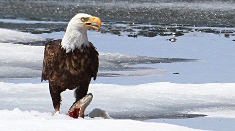 Bald eagle standing over a fish that it's eating.