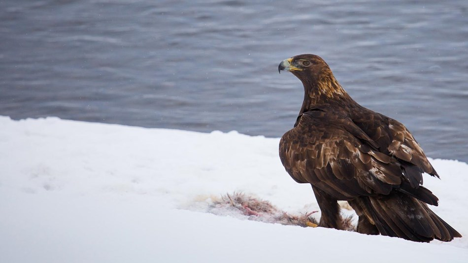 A large dark bird stands over the remains of a carcass on a snowbank next to a body of water.