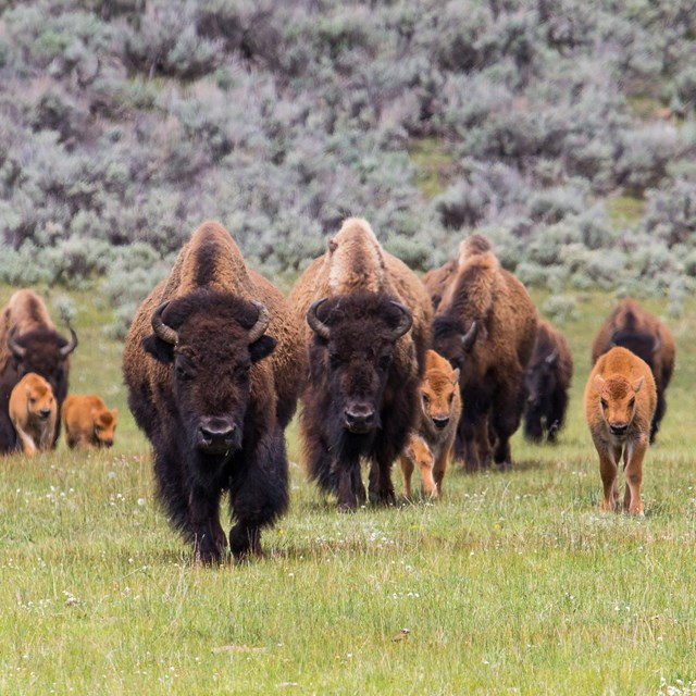 A group of bison cows and calves walking through a green meadow.