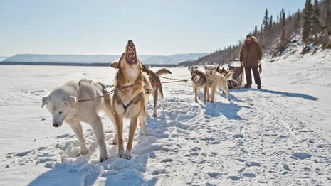 Sled dogs bark in excitement on the Yukon River