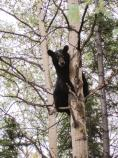 Black Bear- What are you looking at?