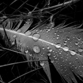 black and white closeup of rain drops on a feather