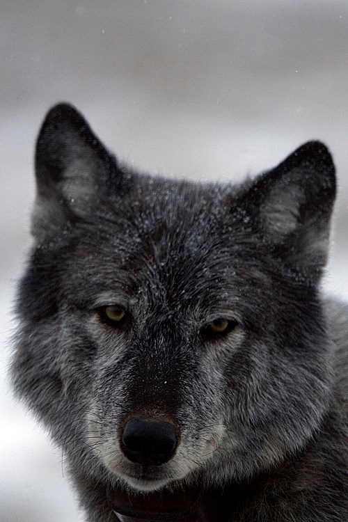 close up portrait of a dark-colored wolf