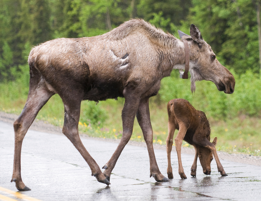 a moose cow and tiny calf cross a wet road