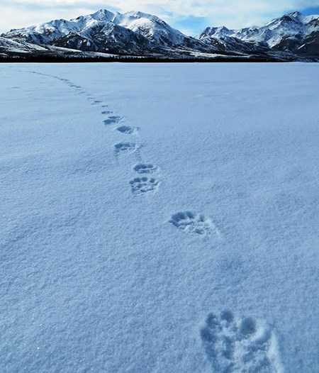 wolverine tracks lead across a snowy plain towards mountains
