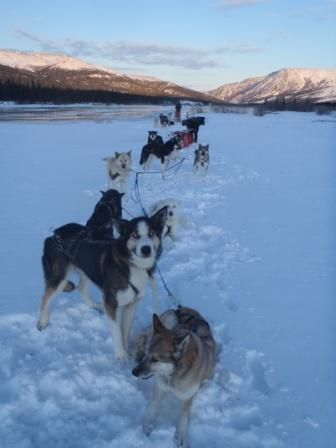 Dogs drying off in snow after overflow on the Teklanika River