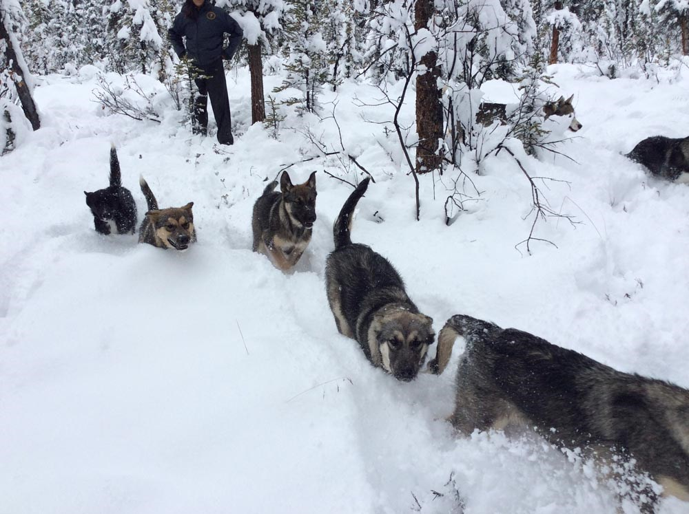 six large puppies running through a snowy forest
