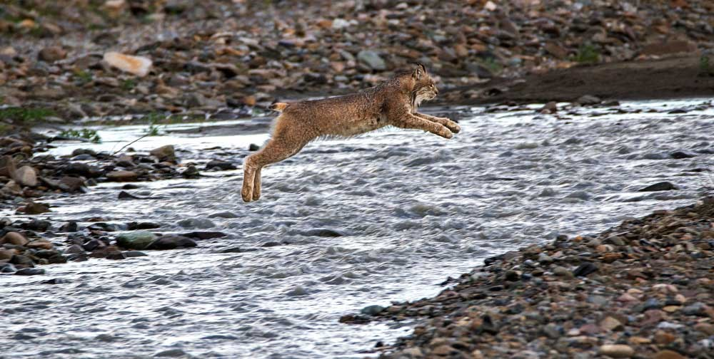a lynx leaping over a shallow river