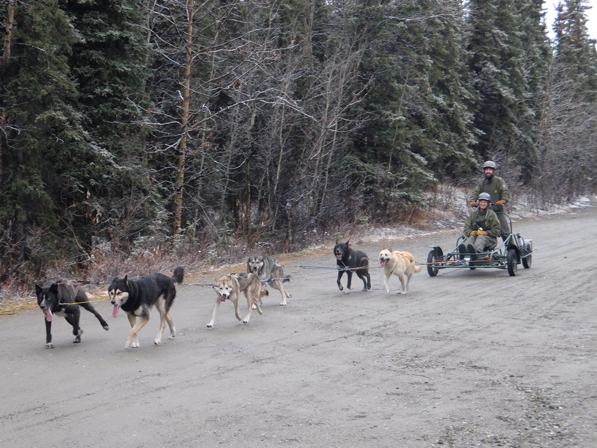 two rangers pulled on a cart by a team of dogs