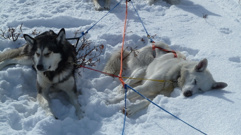 Tired dogs laying in the snow