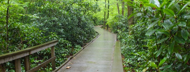 boardwalk in a thicket of rhododendron
