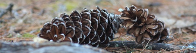 pine cones laying on the ground