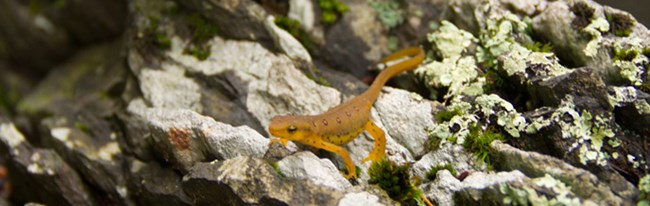 orange salamander on rock