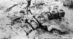 Fossil bones protruding from rock