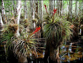 Bromeliads growing in a cypress dome