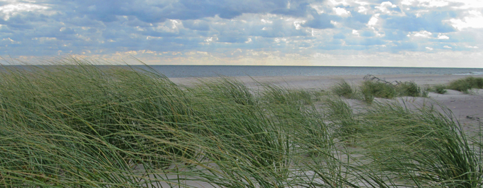 American beachgrass blows in the wind near the shore