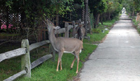 Deer browsing on trees lining a Fire Island community street.
