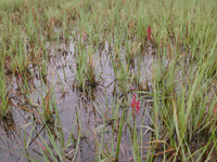 Green leaves of salt-marsh grass with a few fleshy reddish plants protrude from the dark, quiet water of a salt marsh.