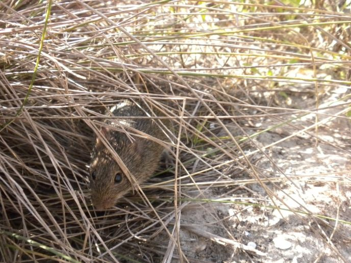 Marsh rice rat peeks out from tufts of dry grass.