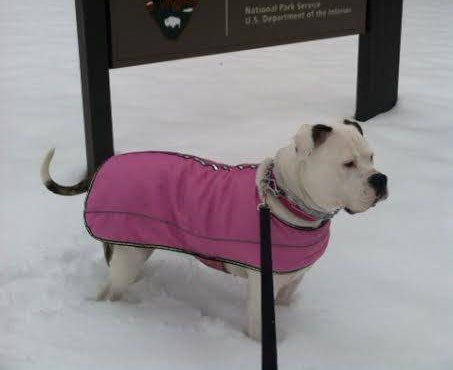Dog on a leash wearing a vest in the snow.