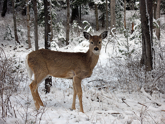 Pics Of Deer In Snow. deer doe in the snow