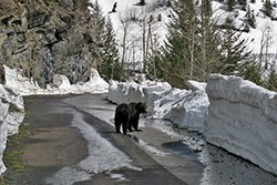 A bear on the road turns to look back at oncoming traffic. Large snowbanks rise on either side.