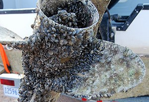 A boat propeller engulfed by quagga mussels. Help keep our waters free of aquatic invasive species.