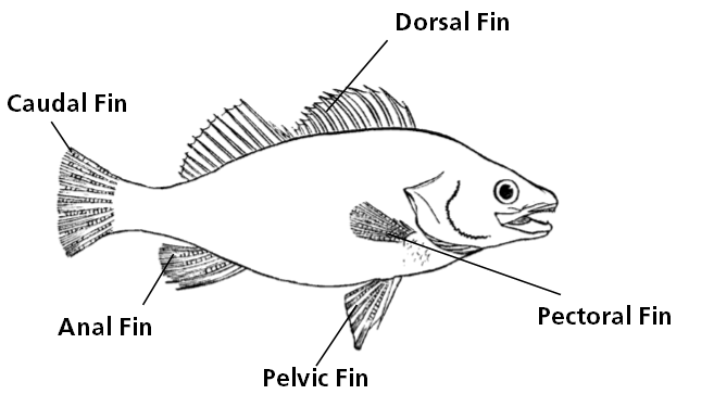 a drawing naming the different fins of a fish, including the dorsal, pectoral, pelvic, anal, and caudal fins.