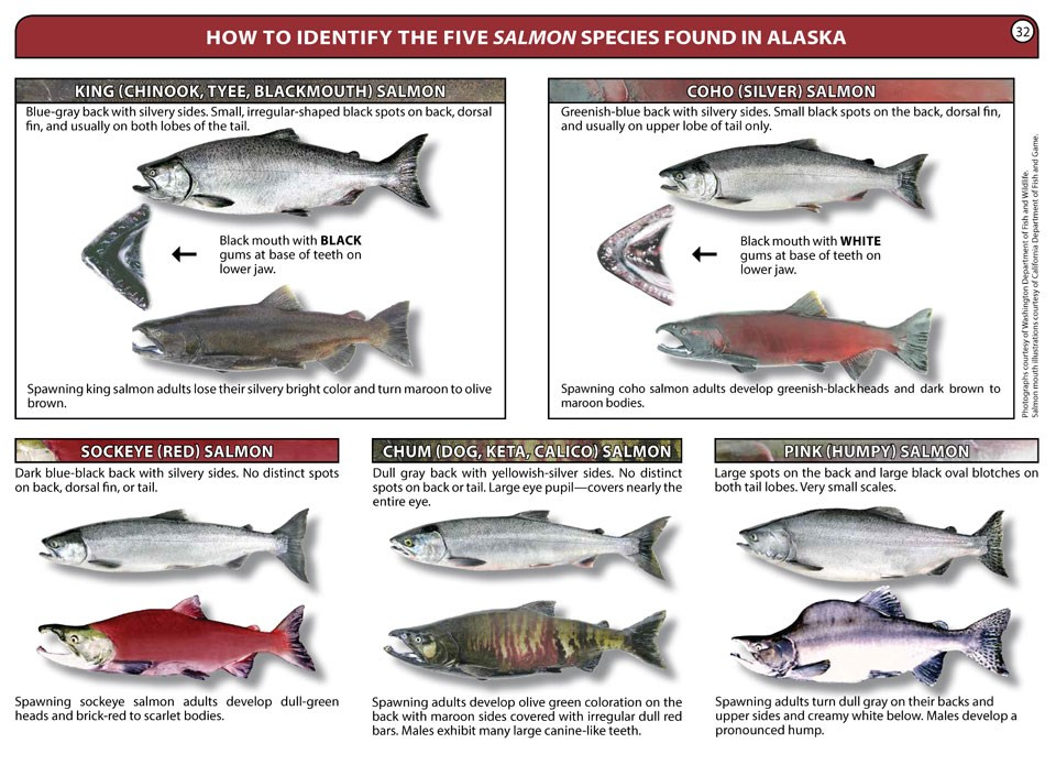 5 species of salmon are pictured and explained based on markings, coloration, and fin shape.