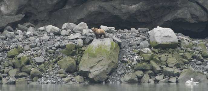 Bear in Glacier Bay