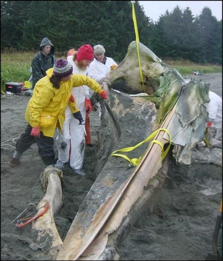 lifting whale carcass
