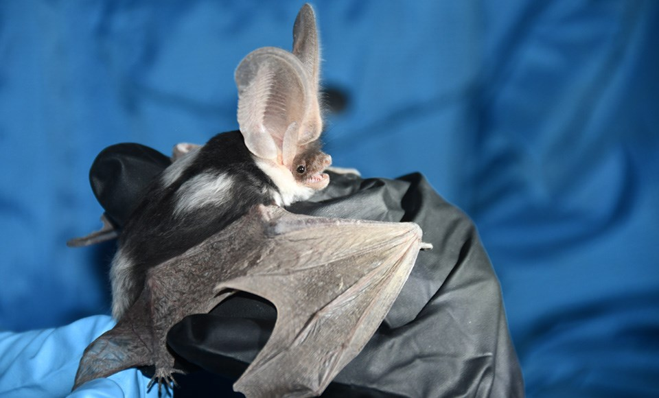 Bat with large ears held in gloved hand