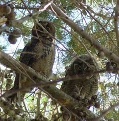 Long-eared owls (Asio otus)