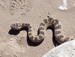 Great Basin rattlesnake (Crotalus viridus lutosus)