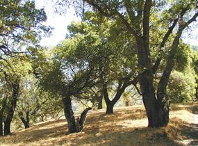 Oak woodland on mount tamalpais