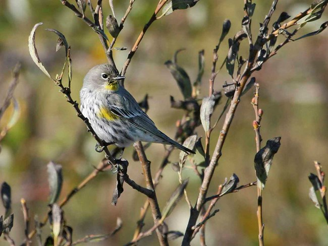 Yellow-Rumped Warbler perches on a branch in the Presidio.