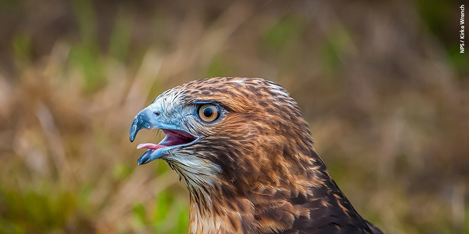 Close up of red-tailed hawk.