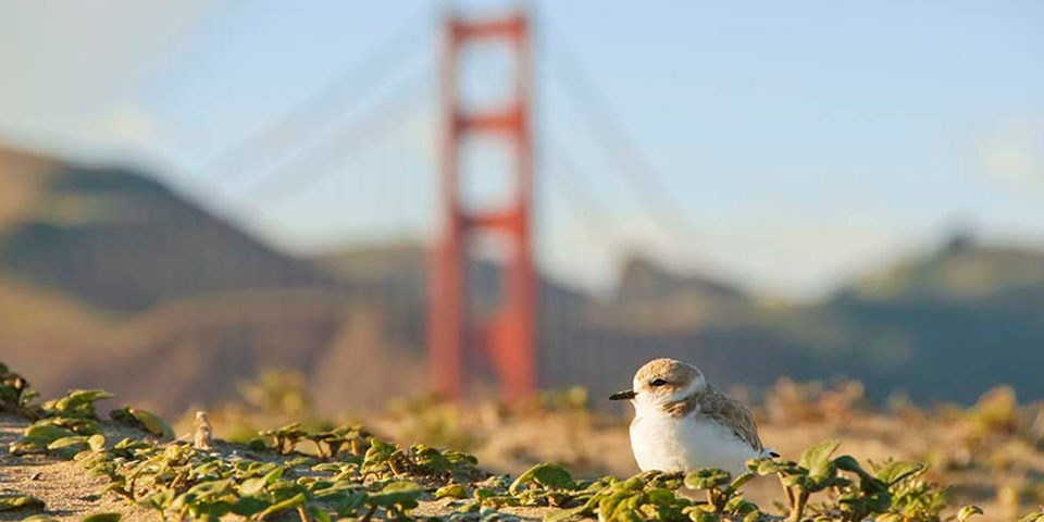 Snowy plover in foreground, golden gate bridge in background