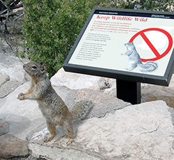 "Begging rock squirrel in front of ""don't feed squirrel"" sign"