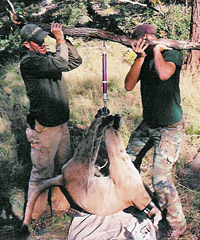 Eric (left) and a colleague, weighing a tranquilized mountain lion.