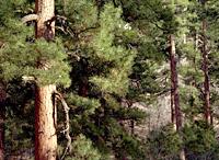 Ponderosa Pine Forest on the North Rim