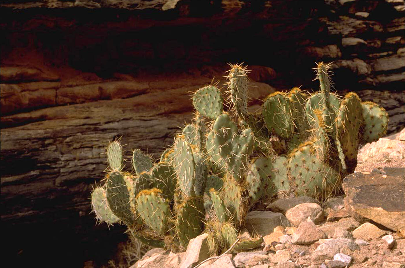 Sahara Desert Plants List