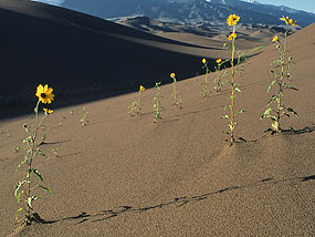 Sunflowers on Dunes