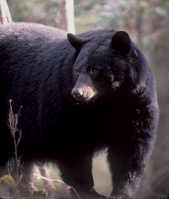 A large black bear standing by a tree